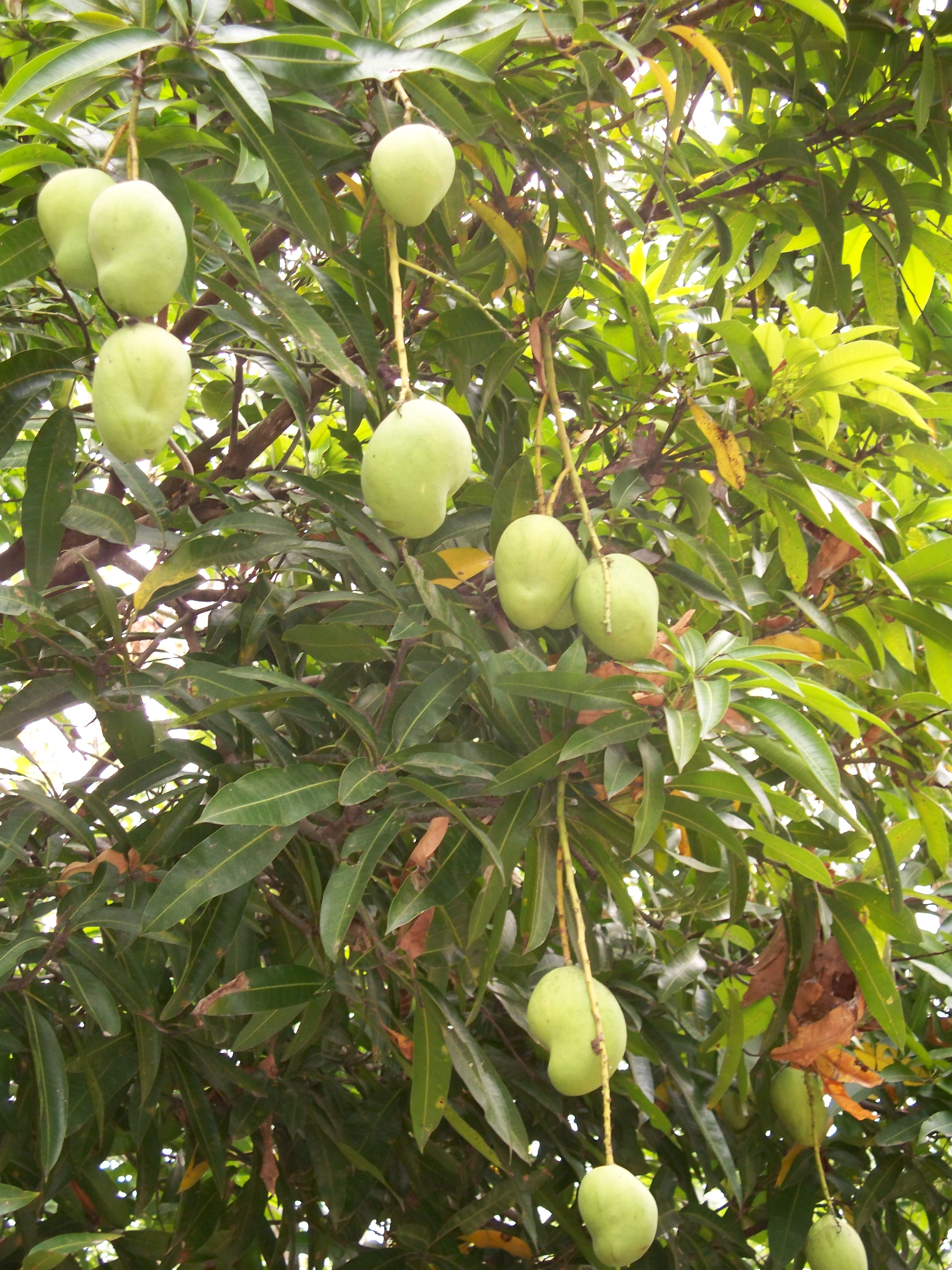 the life of the mango tree Mangifera indica, commonly known as mango, is a species of flowering plant in the sumac and poison ivy family anacardiaceae it is native to the indian subcontinent.