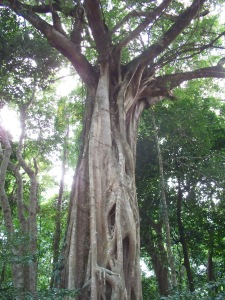 Jungle tree, Daintree, Australia