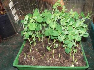 half harvested pea greens