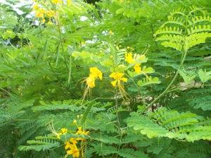 yellow flowered tree