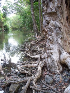 gnarly tree root river bank