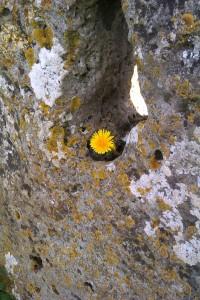dandelion stone
