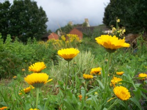 Calendula with house in background