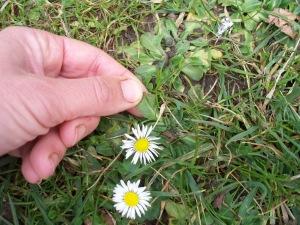daisy flower & leaf