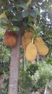 Jack fruit (Artocarpus heterophyllus)