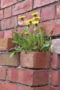 wild dandelion finding an urban niche
