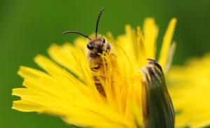 A Nitidia Male Bee