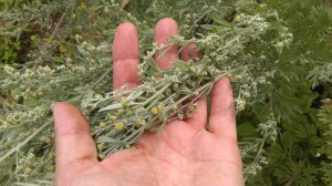 flowering wormwood (Artemesia absinthium)