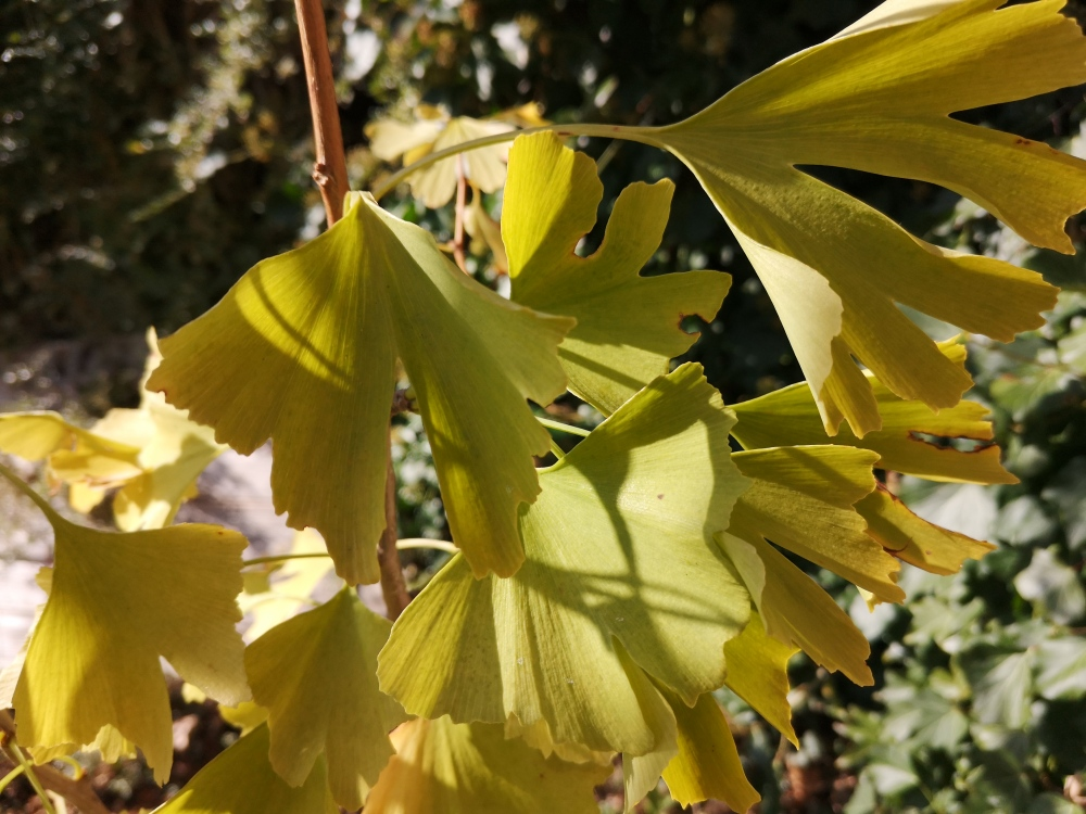 Ginkgo biloba leaves in autumn
